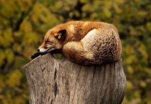 Fox Working Hard